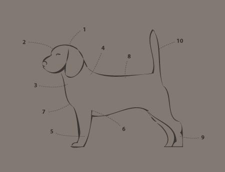 rasstandaard van de beagle
